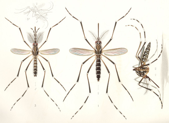 The yellow fever mosquito Aedes aegypti, pictured by E.A. Goeldi (1905). The male, to the left, to the right, females.
