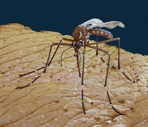 Aedes aegypti, foto by eye of science - photo studio for scientific photography