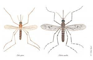 The house mosquitoes Culex pipiens and Culiseta annulata, Illustration by Ingeborg Schleip, Biogents