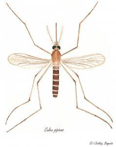 Culex pipiens, illustrated by Ingeborg Schleip, Biogents