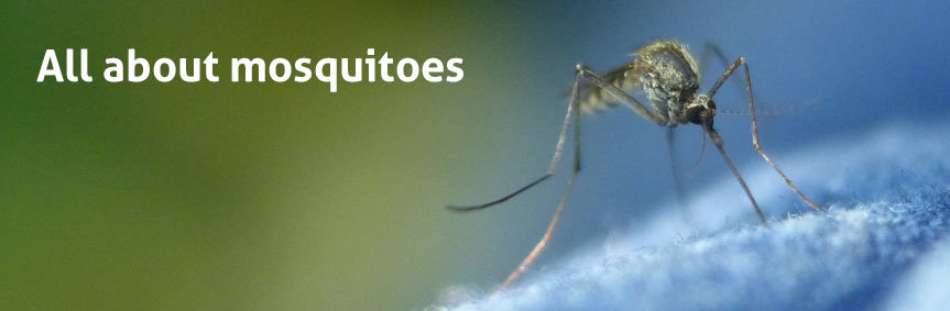 There are around 3,500 different species of mosquitoes worldwide, with about 100 in Europe and 170 in North America. Different species may have completely different ways of life.