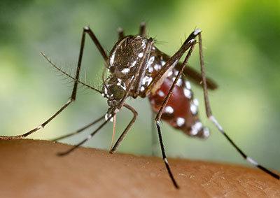 Aedes albopictus, the Asian tiger mosquito