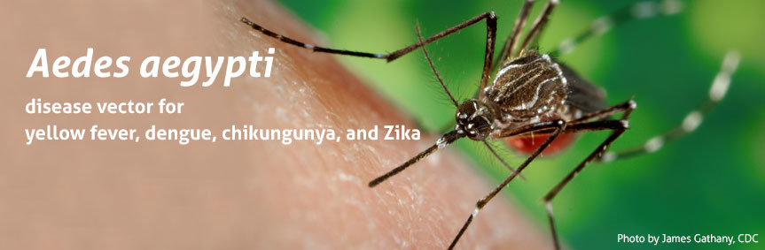 Mosquitoes can be disease vectors, e.g., the yellow fever mosquito (Aedes aegypti); it is considered to transmit diseases such as yellow fever, chikungunya, dengue, and Zika.
