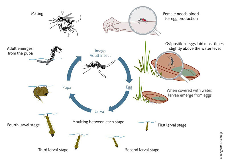 The life cycle of the Asian tiger mosquito and the Yellow fever mosquito are very similar. The eggs are resistant to heat and dryness and are deposited in natural and artificial containers subject to flooding.