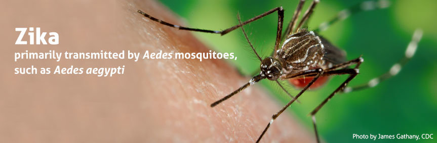 Zika virus is transmitted through the bite of an infected Aedes species mosquito. These are the same mosquitoes that spread dengue and chikungunya viruses, such as Aedes aegypti.