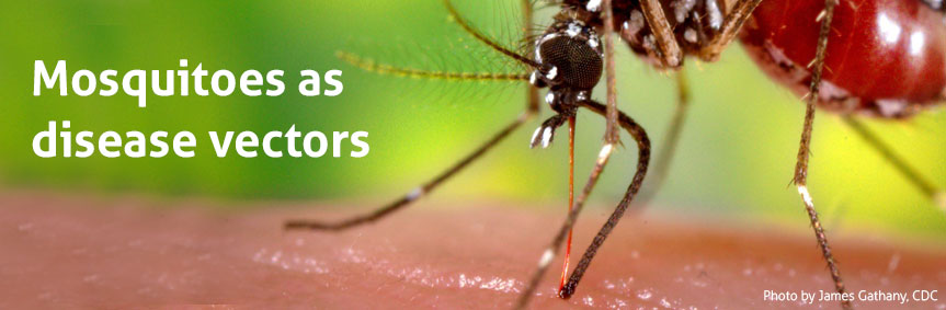 Mosquitoes as disease vectors