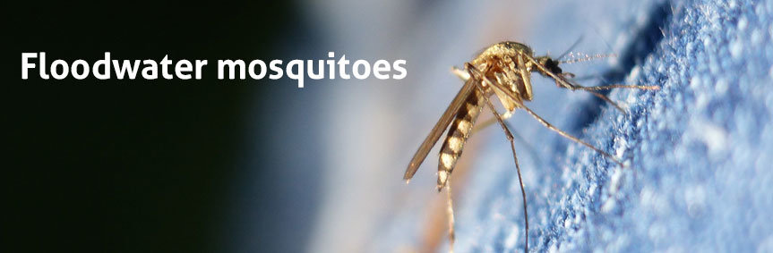 Floodwater mosquitoes, such as Aedes vexans, can cause immense nuisance through mosquitoes when they hatch simultanously after a flood.