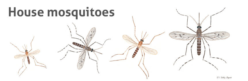 House mosquitoes such as Culex pipiens are found in human surroundings.