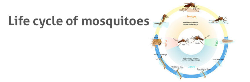 Parasite Life Cycle In The Human Host And Mosquito Vector Sporozoites That Are Found